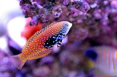 African Leopard Wrasse