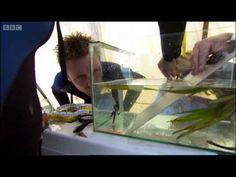 Endangered Seahorses - Oceans - BBC