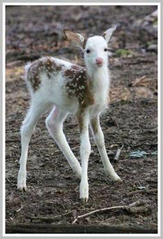 Half albino baby deer mundo animal e natureza Cute Baby Animals, Animals And Pets, Funny Animals, Black Animals, Amazing Animals, Animals Beautiful, Mundo Animal, My Animal, Tier Fotos