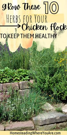 If you're raising backyard chickens, make sure you add these herbs to your herb garden to keep your chicken flock healthy. Chickens benefit from eating herbs to keep them healthy and happy, but not all herbs offer benefits to chickens. Make sure you grow the best herbs for chickens. Chicken Feed, Chicken Eggs, Healthy Chicken, Herbs For Chickens, Raising Backyard Chickens, Easy Herbs To Grow, Coops, Herb Garden, Herbal Remedies
