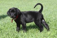 black lab puppy tail