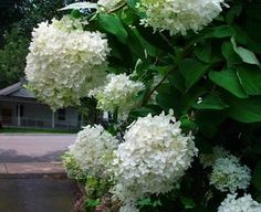 PeeGee hydrangea.   Care and tending of these beautiful plants are listed on this site.  PeeGees are good down to zone 3 -- like Montana.  I have a small one and hope it continues to thrive.