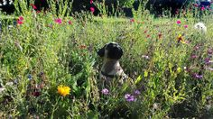 Pug and flowers
