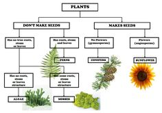 In preparation for our botany lesson tomorrow, I have designed this simplified Plant Classification Chart. Itssimple to read and makes for easy understanding for younger children and those who ar. Plant Science, Science Biology, Teaching Biology, Science And Nature, Life Science, Learn Biology, Science Lessons, Classifying Plants, Dichotomous Key