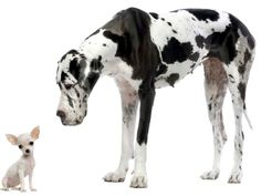 two of the best dogs.....chihuahua and great dane