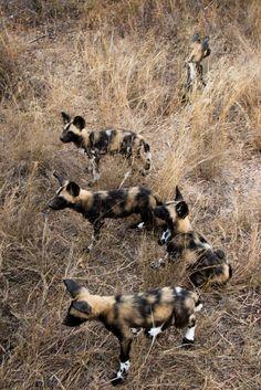 Baby wild dogs