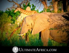 African Safari , Elephant & Giraffe @ Chitabe . Located in the #Okavango #Delta in #Botswana , #Africa . #Chitabe provides wonderful #Wildlife for the avid #safari guest. Experience the #nature . #Animals and are in abundance and #Luxury is evident in the #Lodge and #Rooms. #Elephant #Elephants #giraffe