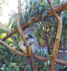 Your little koalas will love nap time on #HamiltonIsland. Sleeping children = happy parents!