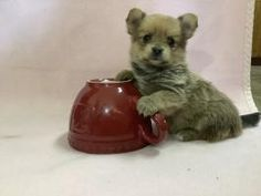 Pee Wee - Yorkie-Pom Puppy for Sale in Athens, WI   Lancaster Puppies Yorkie Dogs For Sale, Lancaster Puppies