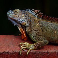 Magic Dragon lizard