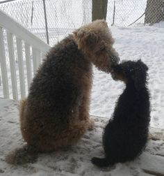Airedale kiss