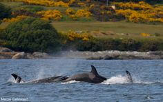 Transient Orca // May 26, 2014 // Eagle Wing Whale Watching Tours