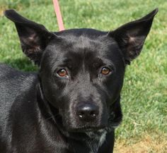 Meet Mayvis, a Petfinder adoptable Labrador Retriever Dog | Chauncey, OH | Mayvis is said to be 7 years old.Support the Athens County Dog Shelter by walking your dog or...