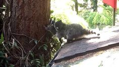 A mother Raccoon teaches her kit how to climb a tree in our yard.Author: mybreezylife26Tags: Posted: 17 July 2015Rating: 0.0Votes: 0