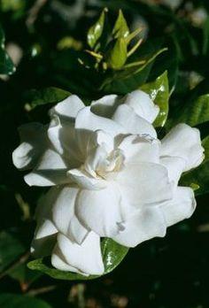 How do you take care of gardenias?