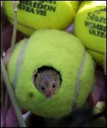 Recyled tennis ball as home for mouse (Harvest mouse in UK), or other small pet