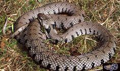 """اكتشاف نوع جديد من ثعابين العشب البري بنقر سوداء: كشف تقرير نشرته صحيفة """"ديلي ميل"""" عن اكتشاف نوع جديد من ثعابين العشب البري في المملكة…"""