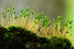 moss flowers by bluefam, via Flickr