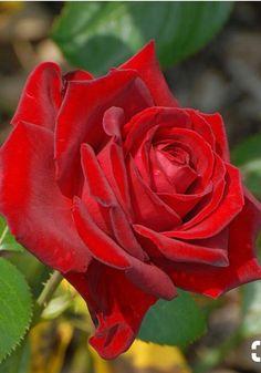 Beautiful red rose!