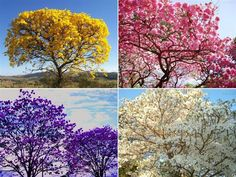 The Lapacho trees in Paraguay flower in 4 different colors. It is truly an AMAZING sight to behold!!!