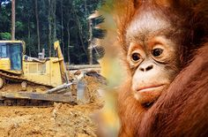 Despite a clear verdict by Indonesia's Supreme Court, a palm oil company is still clearing land in Borneo's Tanjung Puting National Park and encroaching on the last remaining habitats of endangered orangutans and proboscis monkeys. Please take a stand and sign our petition to the Indonesian government.