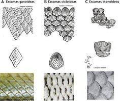 escamas ctenoideas peces - Buscar con Google
