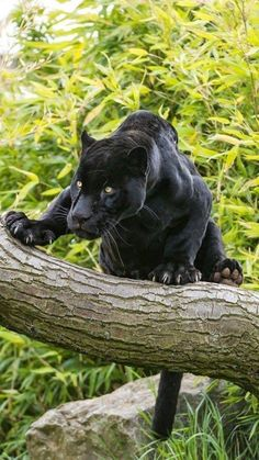 Black Panther Wakanda forever Source by aminemastor Pretty Cats, Beautiful Cats, Animals Beautiful, Cute Animals, Wild Animals, Baby Animals, Big Cats, Cool Cats, Cats And Kittens