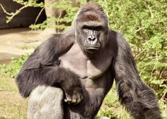 """Harambe, 17-year-old gorilla (1999-2016) at the Cincinnati Zoo. This photo should be placed at the entrance of every Zoo with the statement: """"Please watch your children. Thank You."""""""
