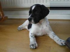 """Visit our web site for additional info on """"pointer puppies"""". It is an exceptional spot to read more. English Pointer Puppy, Pointer Puppies, Pointer Dog, Dogs And Puppies, Doggies, German Shorthaired Pointer, Havanese, Hunting Dogs, Doberman"""