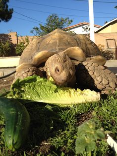 African Spur-Thighed tortoise - over twenty years old and weighs more than a hundred pounds.