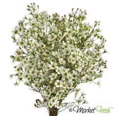 waxflower in white