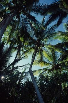 A tropical dream. Could you imagine one day just laying down, looking up, and seeing this?