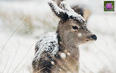 @eilidh__cameron with tonight's second choice!  Congratulations to  @sharonwilsonimages  Absolutely beautiful capture of Bambi in the snow so magical  Get over to their amazing gallery to show some appreciation @kristyashton is our #insta_scot of the month and she will be selecting next months winner from images tagged to #insta_scotland so get taggin Tag all you relative shots to #insta_scotland and go follow @insta_scotland by insta_scotland