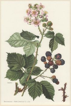 Blackberry 1960 Vintage Botanical Print Rubus fruticosus by Craftissimo Botany Illustration, Illustration Botanique, Floral Illustrations, Botanical Tattoo, Botanical Drawings, Botanical Art, Vintage Botanical Prints, Vintage Prints, Flora Design