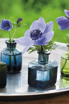 Anemone coronaria 'Mr Fokker' in green and blue mini glass vases