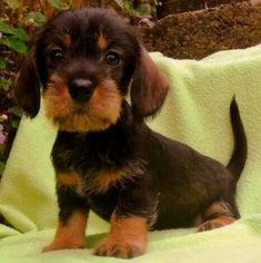 .wired hair doxie puppy. So cute!! #dachshund