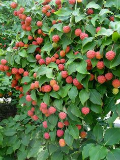 Kousa dogwood - fall fruit - edible to animals and people