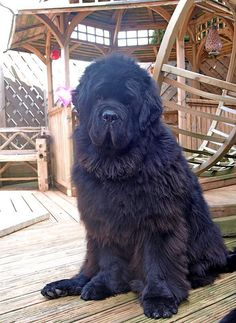 "I realized that I didn't have a ""big"" dog here. A Newfie fits the bill! Big Dog Little Dog, Big Dogs, Large Dogs, I Love Dogs, Cute Dogs, Dogs And Puppies, Corgi Puppies, Doggies, Terra Nova"