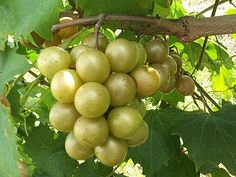 Nature's Pearl: Muscadine Grapes are Powerful Antioxidants that your body craves and your skin needs. They help with Anti-aging.