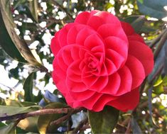 CAMELIA FLOWERS - Yahoo Image Search Results