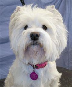 Scottish Kilts Westies and Scotties - Retired Westies - Bloomfield, MO