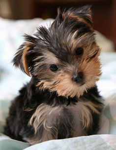 "35 Yorkshire Terrier ""Yorkie"" Puppies You Will Love Cute Puppies, Cute Dogs, Dogs And Puppies, Lap Dogs, Small Dog Breeds, Small Dogs, Dog Breeds Little, Yorkies, Baby Animals"