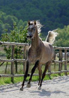 Drinker of the Wind - Arabian horse - from Horses of Legend