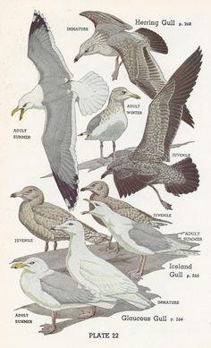 Vintage Audubon Bird Print, 1951, Gull, Skua, Jaeger via Etsy
