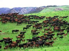 Large Herd of Wild Mustangs.