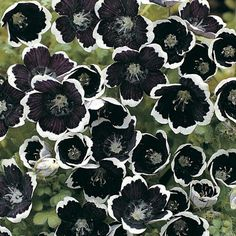 Nemophila 'Pennie Black' (Baby Blue Eyes)--self sowing annual, seed from Thompson & Morgan; seed sown 10 April