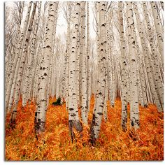 Endless Grove photo by Chad Galloway. Incredible. #autumn #fall #birch