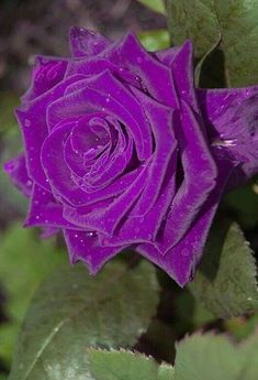 The fragrance is intoxicating and so addictive. Beautiful Rose Flowers, Love Rose, Exotic Flowers, Amazing Flowers, Purple Flowers, Purple Love, All Things Purple, Amarillis, Rose Pictures