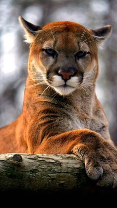 Cougar, Puma, Mountain Lion ~ one of the most beautiful big cats I've ever seen. *Saw one up close & personal at Big Bend, Texas Big Cats, Cool Cats, Cats And Kittens, Tabby Cats, Siamese Cats, Nature Animals, Animals And Pets, Cute Animals, Wild Animals