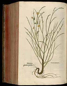184850 Spartium junceum L. / Fuchs, L., New Kreüterbuch, t. 435 (1543)